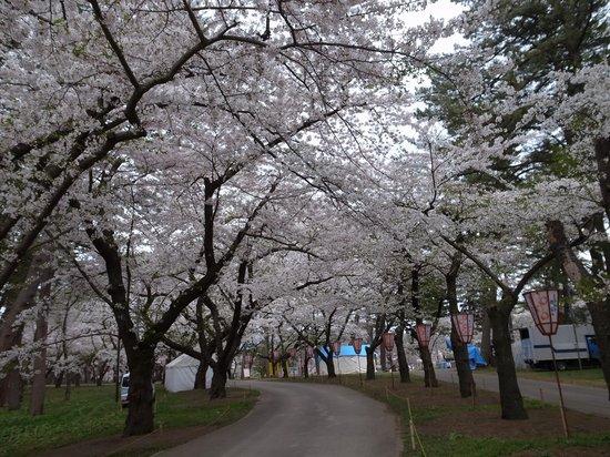 Ashino Park: 桜並木