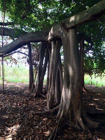 Casa Guardia Panama : Old tree at Casa Guardia