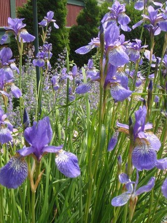 Habberstad House: Our iris are blooming!