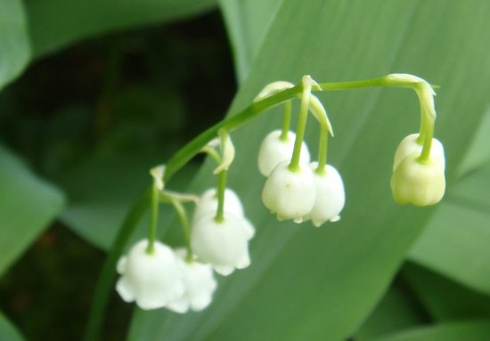Habberstad House: Lilies of the Valley