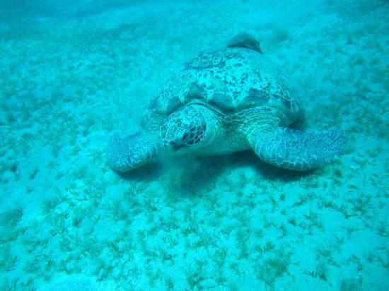 Emperor Divers Marsa Alam : turtles of Abu Dabab