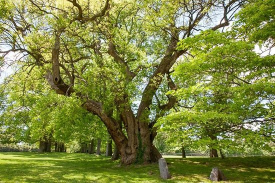 Hagley Museum and Library: 300 years old tree