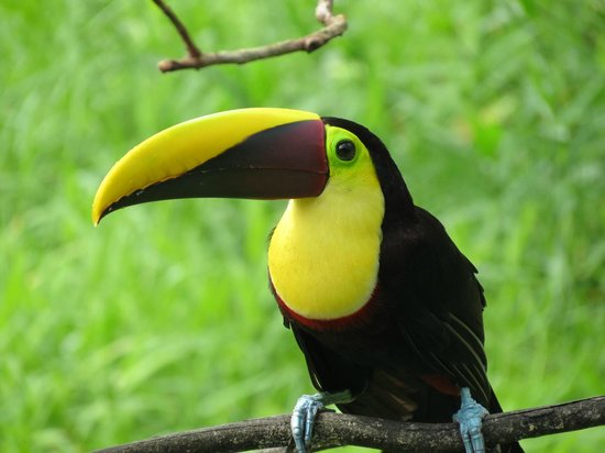 Maquenque Eco-Lodge: Close encounter with a chestnut-mandibled toucan