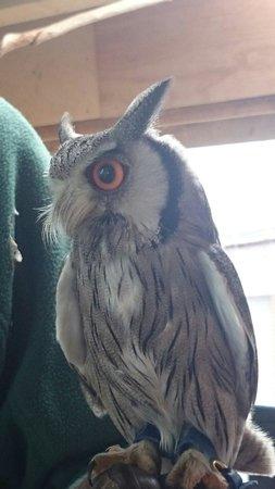 Battlefield Falconry Centre: Beautiful Owl