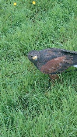 Battlefield Falconry Centre: Hawk