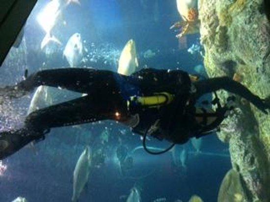 South Carolina Aquarium: Great Ocean Tank Diver