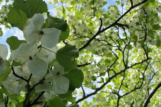 Howick Hall Gardens: The Handkerchief tree
