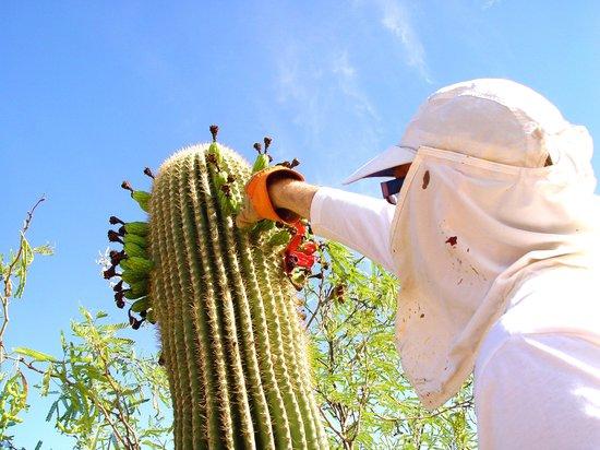 Hacienda Linda: Dare to explore the sweet taste of the Saguaro fruit.