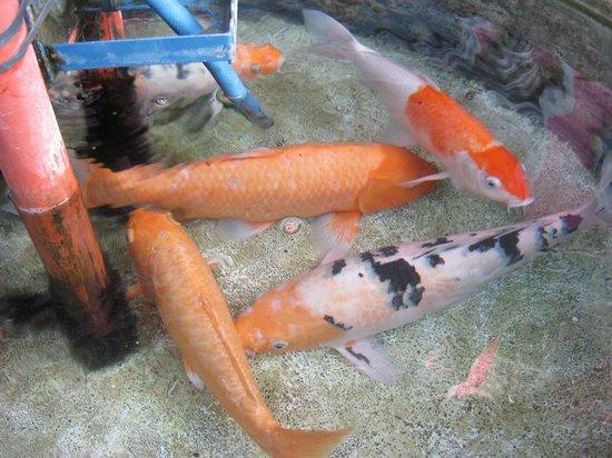 Europa Mansionette Inn: Koi fishes in the garden