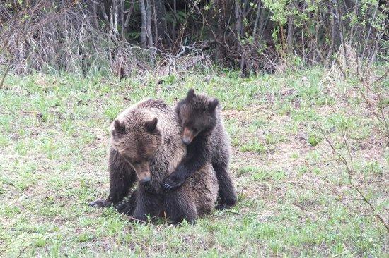 Bearberry Meadows Guest House: Grizzlymutter und Junges beim Spielen, gesehen auf einer Autofahrt