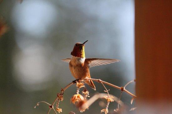 Bearberry Meadows Guest House: Jede Menge Kolibris direkt am Haus!