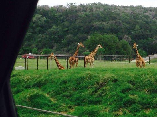 Natural Bridge Wildlife Ranch: Giraffes.