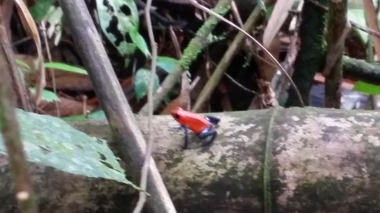 Tree Houses Hotel Costa Rica: dart frog on property