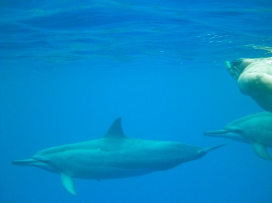 Big Island Divers : swimming with dolphins in the wild.