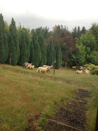 Mirador los Volcanes: Animais - ovelhas
