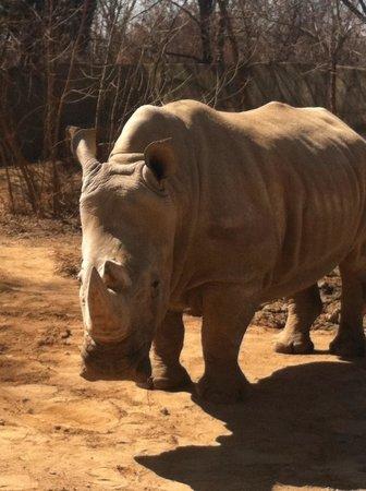 Louisville Zoo: Rhino