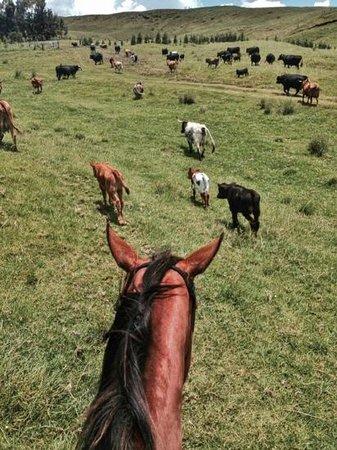 Dahana Ranch: Hearding a few cattle