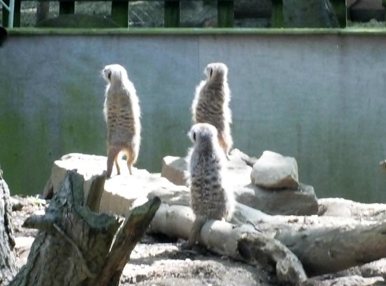 Bridlington Birds of Prey & Animal Park: meercats