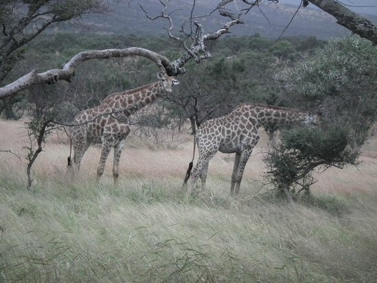 Zebra Hills Safari Lodge: Giraffe