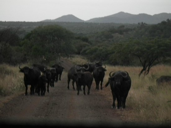 Zebra Hills Safari Lodge: Big Herd
