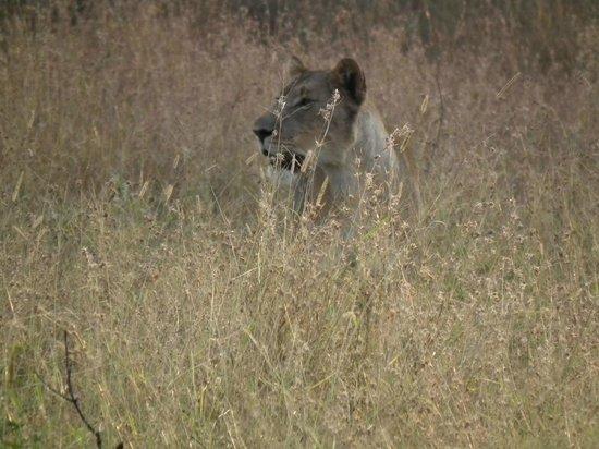 Zebra Hills Safari Lodge: Lioness