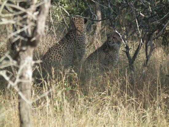 Zebra Hills Safari Lodge: Cheetah Family