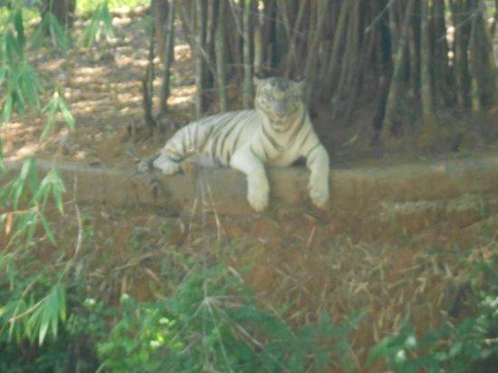 Arignar Anna Zoological Park : White tiger