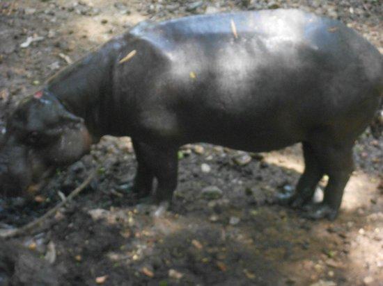 Arignar Anna Zoological Park : Hippo