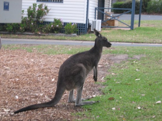 BIG4 Anglesea Holiday Park: Roos come into the campground