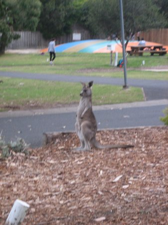 BIG4 Anglesea Holiday Park: Bouncy pillow in background. Roos are close