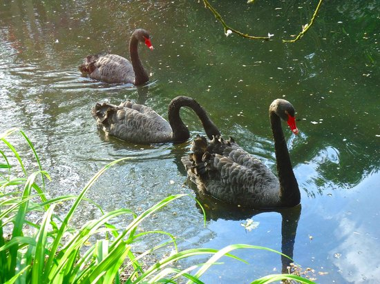 The Lynch Country House: Black swans on the small lake