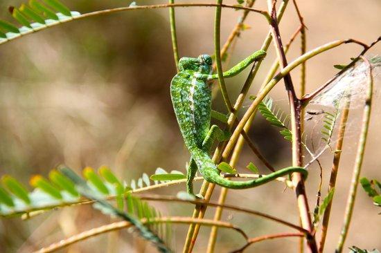 Mandrare River Camp: Chameleon