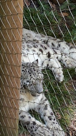 Mill Mountain Zoo : Snow Leopard was beautiful