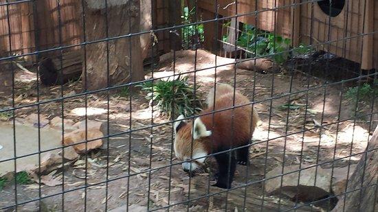 Mill Mountain Zoo: A Red Panda