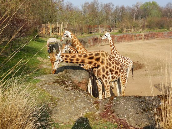 GaiaZOO : The giraffes at diner time