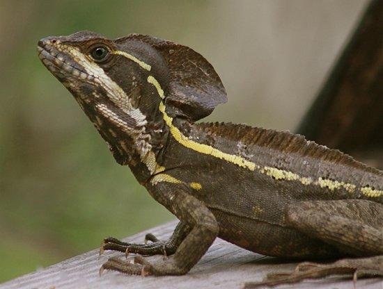 Black Rock Lodge : Striped  Basilisk Lizard