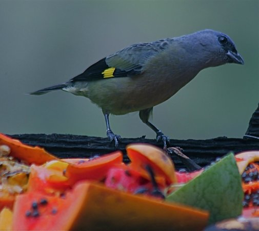 Black Rock Lodge : Yellow - winged Tanager