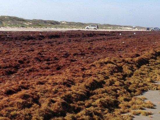 Padre Island National Seashore: View of sea weeds