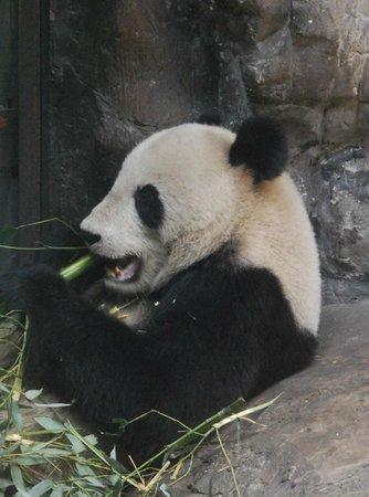Beijing Zoo: Panda munching bamboo