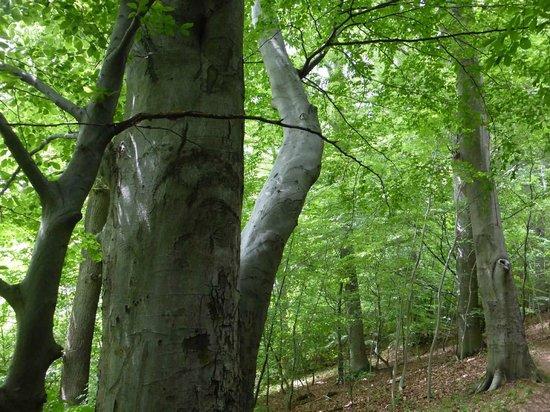 Drachenfels: Wunderschöne Buchenwälder