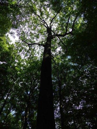 Drachenfels: 30 m-Buche