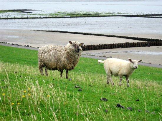 Leuchtturm Westerheversand: Schafe, nix als Schafe