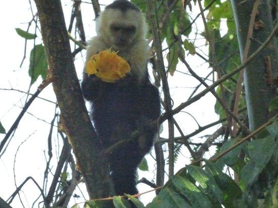 Falls Resort at Manuel Antonio : petit déjeuner  pour petit singe