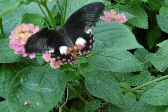 L'Ile aux Papillons : Beau spécimen