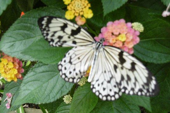 L'Ile aux Papillons : Trés beau papillon