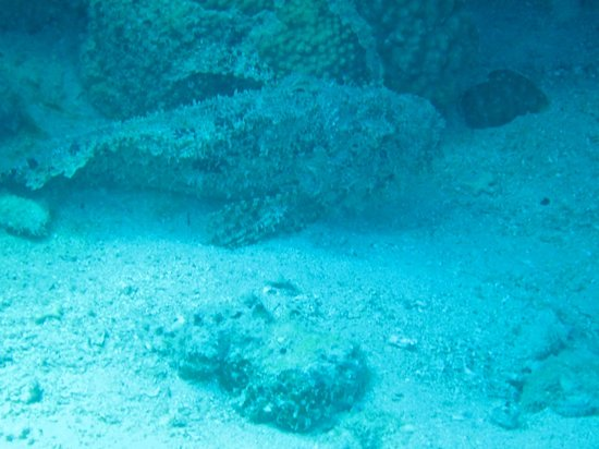 Coraya Divers: scorpion fish
