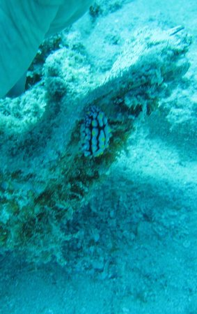 Coraya Divers: nudibranch