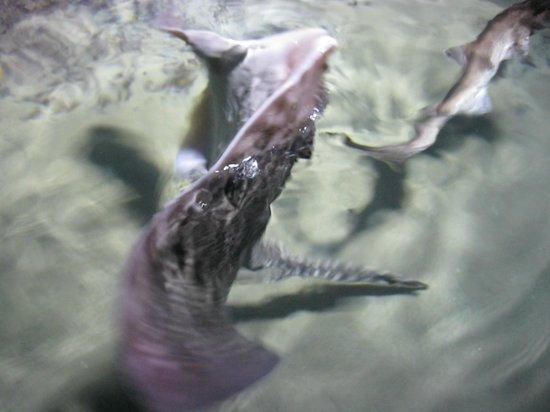 SEA LIFE London Aquarium: Скат-акробат