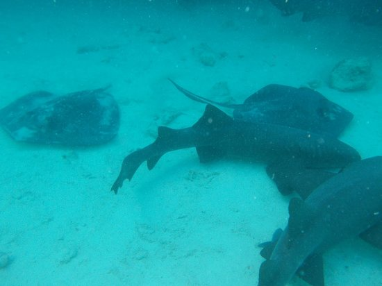 Staniel Cay Yacht Club : SCYC sharks and rays