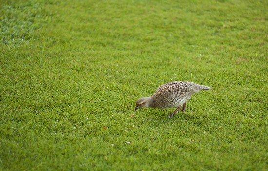 Sheraton Maui Resort & Spa : Birdies in the yard area by Building 6